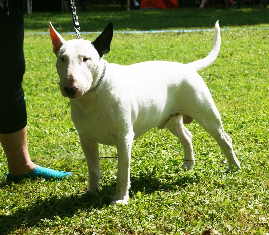 English bull terrier breed description