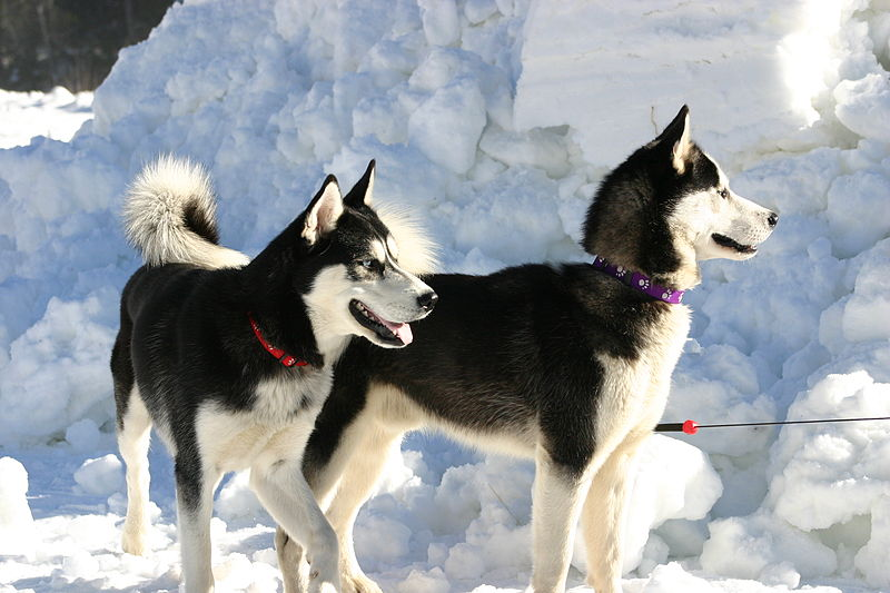 Can I Play With Sled Dogs