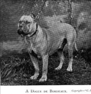 A Dogue De Bordeaux