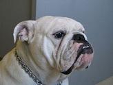 Bulldog Section One:Eng Bulldog - 2