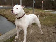 Bulldog Section Two:Amer Bulldog - 2