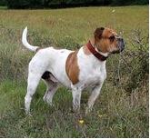 Bulldog Section Two:Olde Eng Bulldogge - 1