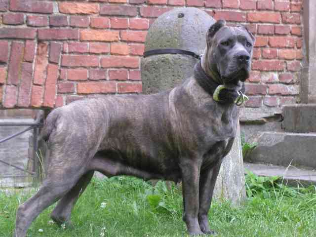 Family Cane Corso Dog Critically Mauls 3 Year Old While Visiting