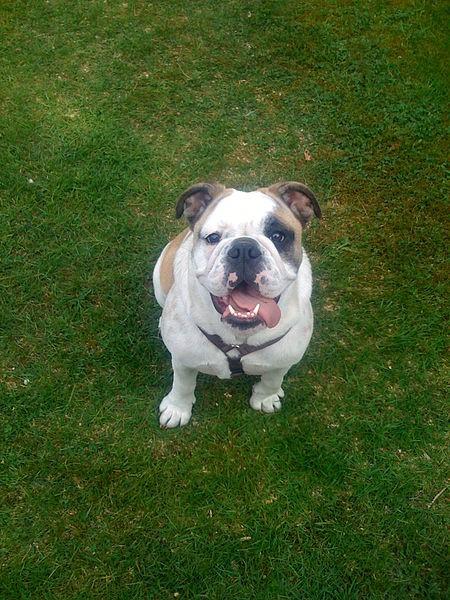 English Bulldog3