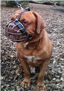 French Mastiff with muzzle