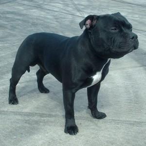 Staffordshire Bull Terrier 3