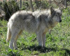 Wolf hybrid 2