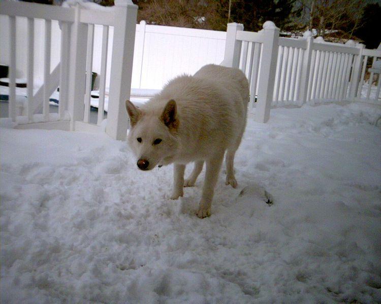 wolf hybrid daxton s friends