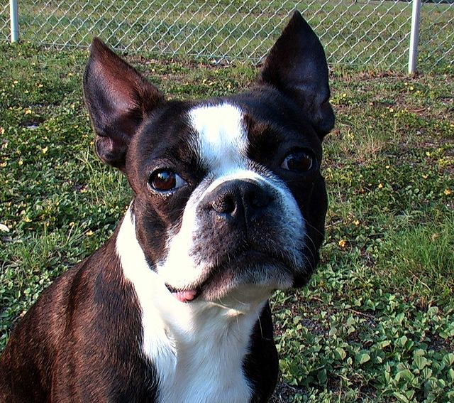 Boston Terrier - Daxton\'s Friends