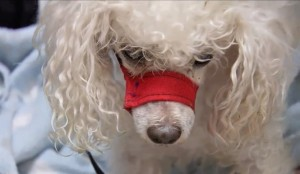 Bobo-The-Poodle-Saves-The-Day-Goes-Home-665x385