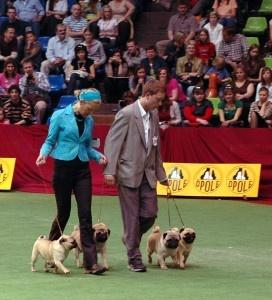 Dog show pug