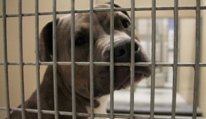 Emerald-White-Drops-Lawsuit-Against-Her-Pit-Bulls-Victims-665x385