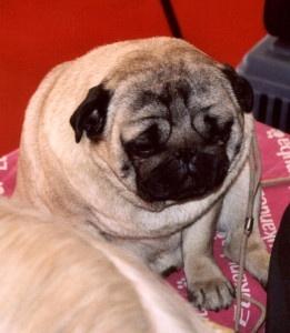 fat pug