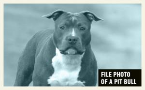 file-photo-pit-bull