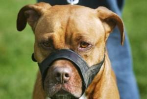 pitbull.jpg.size.xxlarge.promo