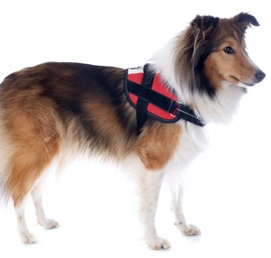 shetland dog and harness