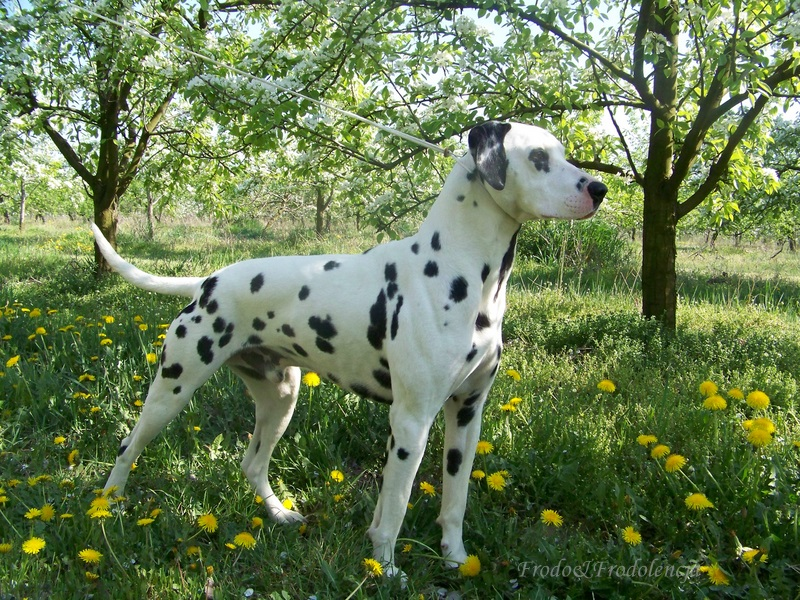 Dalmatian - Daxton's Friends