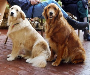Golden_Retrievers 2