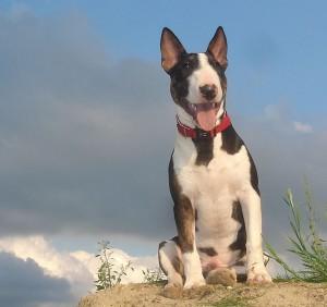 Mini Bull terrier 2