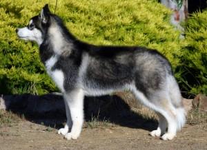 Siberian-husky 2