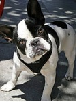 Bulldog Section One:French Bulldog - 1