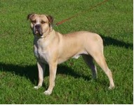 Bulldog Section Two:Amer Bulldog - 3
