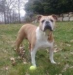 Bulldog Section Two:Olde Eng Bulldogge - 2