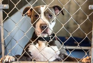 Photo by: Heather Coit/The News-Gazette Cyan, a female, American pit bull terrier mix, stares out from her kennel at the Champaign County Humane Society in Urbana on Friday, Jan. 30, 2015.