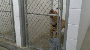 Pit bull in a cage