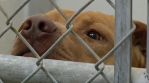 Pit bull in a cage closeup