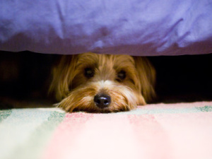 dog-under-bed