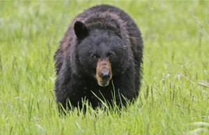 File photo of black bear in Yellowstone National Park, Wyoming