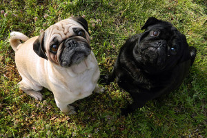 fawn and black pug