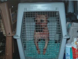 One of eight pit bulls rescued at a dog fighting raid in Akron.