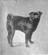 old pug photo
